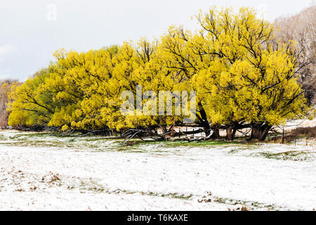 Golden WIllow trees with spring leaves in fresh April snowstorm: Vandaveer Ranch; Salida; Colorado; USA - Stock Image