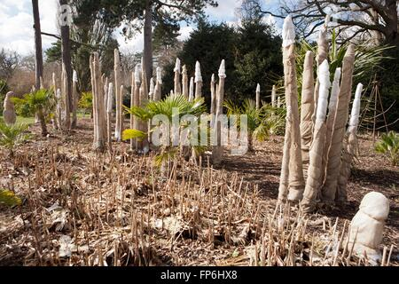 Tender plants wrapped in hessian and straw for winter frost protection at Royal Horticultural Society Gardens, Wisley - Stock Image