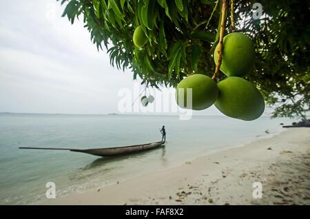 Ripening mangoes on Sei Island, the Turtle Islands, Sierra Leone. - Stock Image