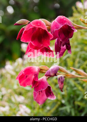 Arching flower stem and red bell flowers of the South African corm, Gladiolus papilio 'Ruby' - Stock Image