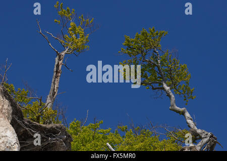 Trees at the edge of the white cliffs at Moen Denmark and blue sky - Stock Image