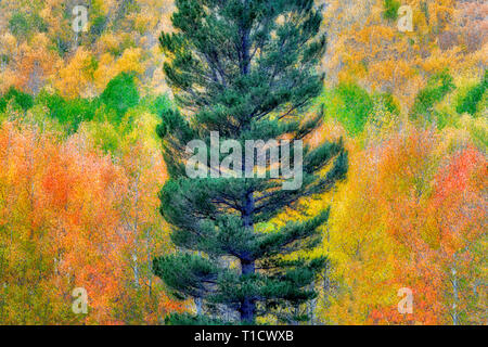 Mixed forest of aspens in fall colors and fir trees. Inyo National Forest. California - Stock Image