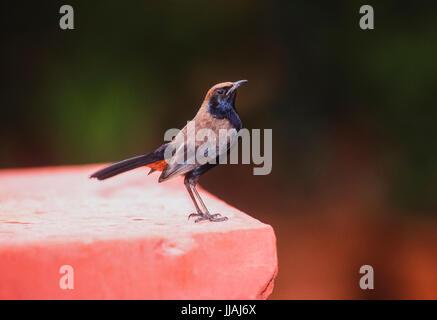 male Indian robin, (Saxicoloides fulicatus cambaiensis), Keoladeo Ghana National park, Bharatpur, Rajasthan, India - Stock Image