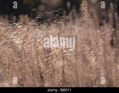 Deutschland, Bayern, Naturpark Bayrische Rhön, UNESCO-Biosphärenreservat, Naturschutzgebiet Lange Rhön, Samenstände des Weidenröschens (Feuerkraut) - Stock Image