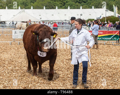 Herdswoman with the winning beast - Ruby Red Devon bull at the Devon County Show, 2019 - Stock Image