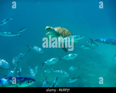 Underwater view of green sea turtle (Chelonia mydas) swimming in blue sea in barbados - Stock Image