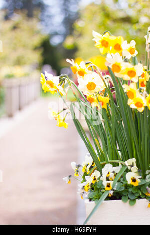 Daisy flower flowering green Garden gardens flower head flower heads series path gravel park parks yellow flora - Stock Image