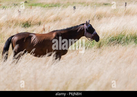 Mülheim an der Ruhr, Germany. 1 July 2018. Horse grazing on a parched meadow in scorching heat. Summer weather in Germany. Photo: Bettina Strenske/Alamy Live News - Stock Image
