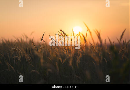 Dried weeds in Backlight. Shallow depth of field. End of Summer Atmosphere. Sunset - Stock Image