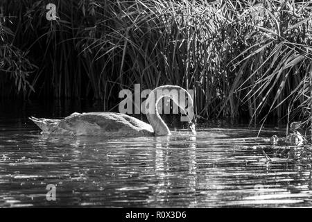 Black and white image of young mute cygnet swan with beak just risen out of water searching for food in low autumn sunlight - Stock Image