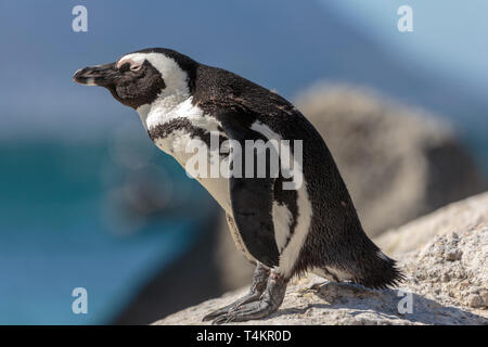 African penguin, Spheniscus demersus, standing on a rock bending forward and enjoying the sun, at Simonstown, South Africa - Stock Image
