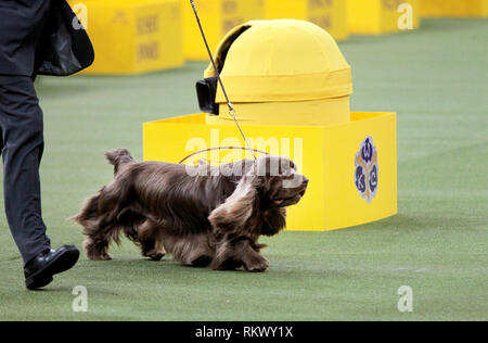 New York, USA. 12th Feb 2019. Westminster Dog Show - New York City, 12 February, 2019:  Sussex Spaniel GCH CH Kamand's Full of Beans, or Bean for short, with his handler after winning the Sporting Group at the 143rd Annual Westminster Dog Show, Tuesday evening at Madison Square Garden in New York City.  It was the second straight year he won the group. Credit: Adam Stoltman/Alamy Live News - Stock Image