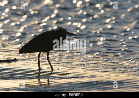 Heron silhouette at dawn, wading on the shoreline, Cape York Peninsula, Far North Queensland, FNQ, Australia - Stock Image