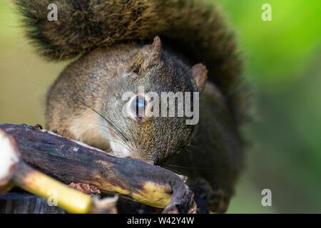 Squirrel eating banana on rainforest landscape, Serrinha Ecological Reserve, Mantiqueira chain of mountains, Rio de Janeiro, Brazil - Stock Image