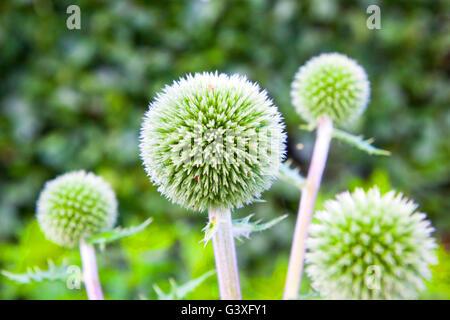 Green Globe Thistle - Stock Image