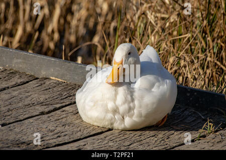 White heavy ducks - American Pekin also known as the Aylesbury or Long Island duck resting on a wooden platform at sunset - Stock Image