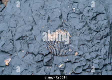 Fossils Exposed on Maple Ledge Dolomite Beds at Kimmeridge Bay in Dorset UK - Stock Image