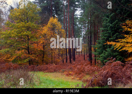 autumnal colours in Crooksbury woods on the road between Elstead & Seale, near Farnham & Godalming, Surrey, England - Stock Image