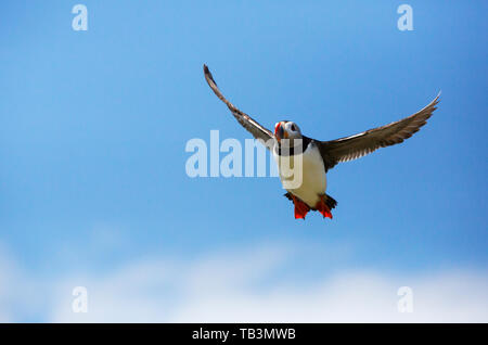 An Atlantic Puffin on the Farne Islands, Northumberland, UK. - Stock Image