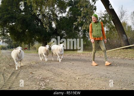 Female farmer walking with three sheep, Mimi is co-owner of organic Front Porch Farm, Healdsburg, California, USA. - Stock Image