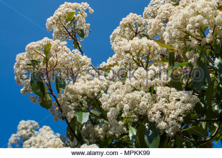 Photinia fraseri, Red Robin, ornamental, tree, shrub, showing red-tipped leaves in mid-May, Germany. - Stock Image