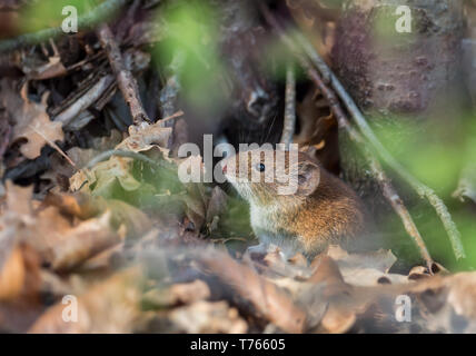 Little wood mouse - Stock Image