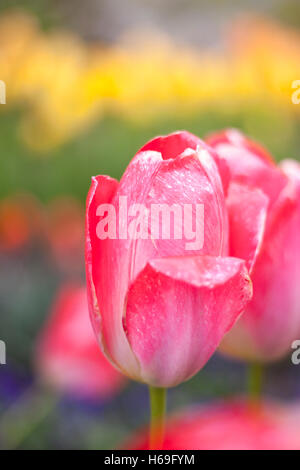 Tulip tulips bloom blossoms flower flowers spring spring flower style stalks styles green red color spring summer - Stock Image
