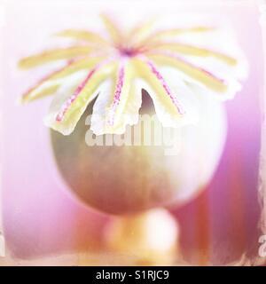 Poppy head - Stock Image