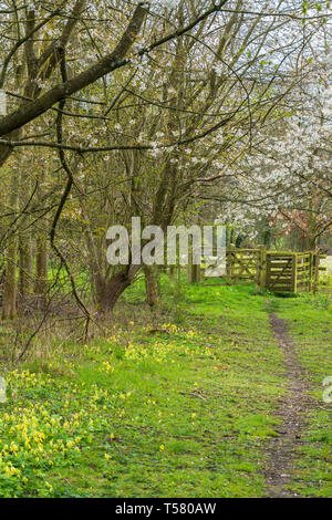 Cherry blossom and Cowslips line a Countryside footpath leading though kissing gate, Herefordshire England UK. April 2019 - Stock Image