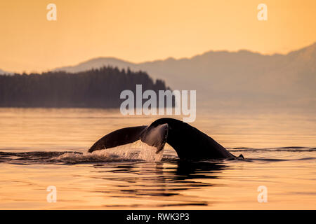 Humpback whale (Megaptera novaeangliae) in Lynn Canal with Coast Range in the background, Southeast Alaska; Alaska, United States of America - Stock Image