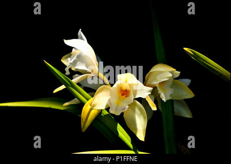 Cattleya orchid, Mission Viejo, CA 80520_30429 - Stock Image