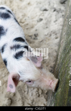 Close up image of a young Bentheim Black Pied with copy space. - Stock Image