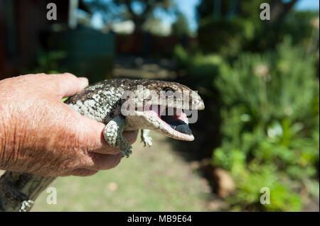 A healthy adult Bobtail lizard (Tiliqua rugosa), found in a suburban Western Australian garden - Stock Image