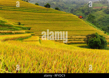 Beautiful ripe rice paddies during the harvest time, Sapa, Vietnam - Stock Image