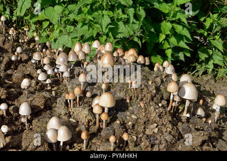 Panaeolus semiovatus is a saprobic fungus or toadstool often found in clusters on horse dung. - Stock Image