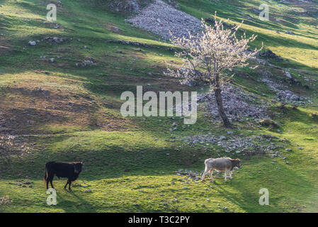 Spring in the mountain, cows on green meadow pasture - Stock Image