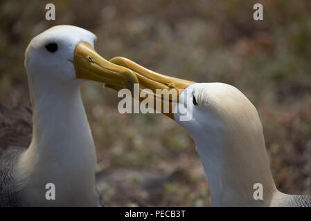 Waved Albatross Courtship - Stock Image