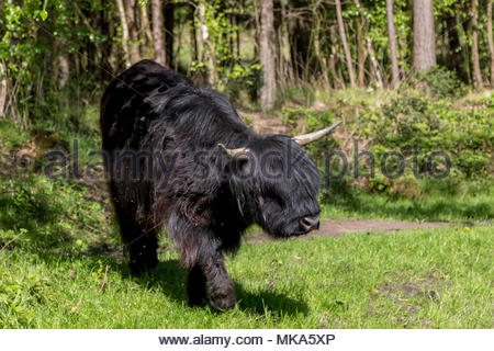 Highland cattle grazing on Velmead Common near Fleet Hampshire UK, Used for many years for military training, the cattle have been introduced to help  - Stock Image