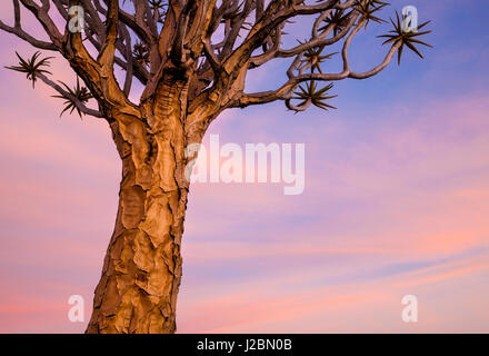 Africa, Namibia. Close-up of quiver tree. Credit as: Wendy Kaveney / Jaynes Gallery / DanitaDelimont.com - Stock Image