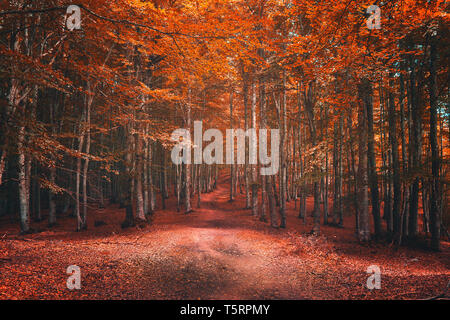beautiful beech forest in autumn - Stock Image