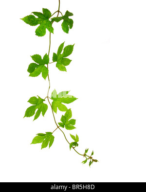 Branch of hop plant - Stock Image