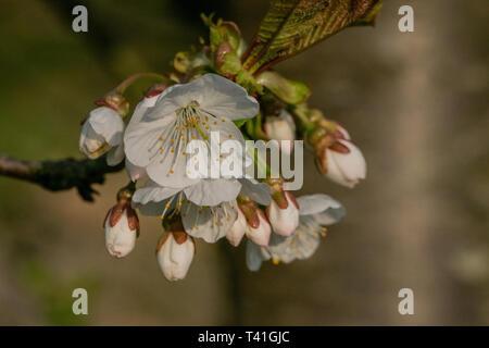 Springtime tree blossom - Stock Image