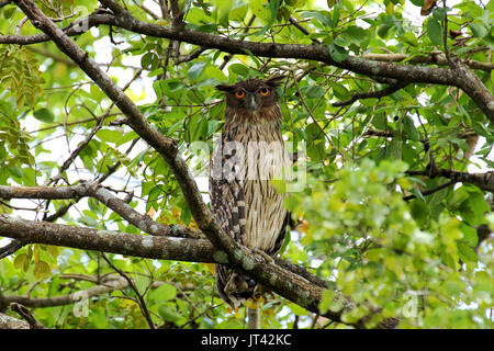 Brown Fish Owl (Ketupa zeylonensis) resting on a tree during the day - Stock Image