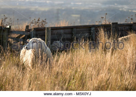 New Zealand scenbery - sheep on rural pasture, Canterbury, New Zealand - Stock Image