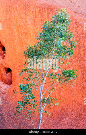 A Green Tree in Front of a Red Rock, Northern Territory, Australia - Stock Image