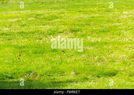Swallow in low flight, swooping close to the ground searching for airborne insects for food. - Stock Image