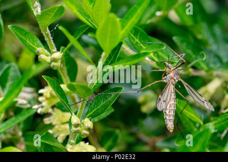 Daddy longlegs, also known as a mosquito hawk or crane fly, resting on green leaves with pollen on body and wings - Stock Image