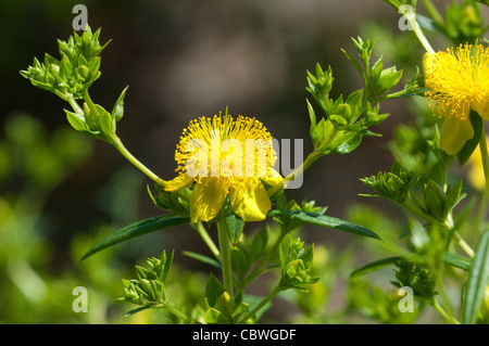 Shrubby St. Johns Wort, Cinnamon Stick (Hypericum prolificum), flowers and buds. - Stock Image
