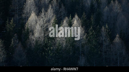 Panoramic image of beautiful Alpine coniferous forest - Woods with Firs, larches. Vintage look. - Stock Image