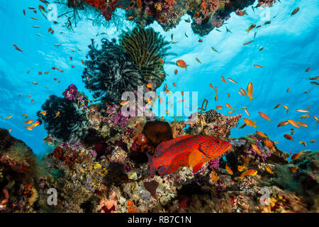 Coral Grouper in Coral Reef, Cephalopholis miniata, Indian Ocean, Maldives - Stock Image